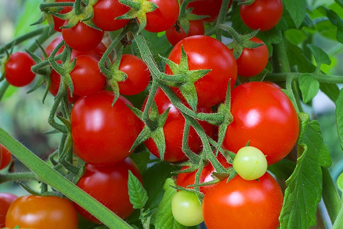 ăn cà chua hàng ngày giúp tóc khỏe đẹp