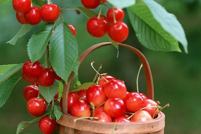 ăn cherry mỗi ngày giúp bạn ngủ ngon