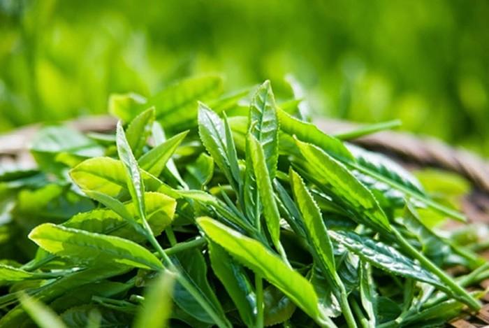 trà xanh chứa chất chống oxi hóa phòng ngừa ung thư