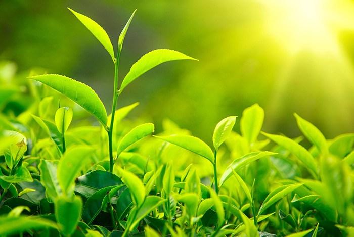 uống nước trà xanh mỗi ngày giúp thanh lọc cơ thể