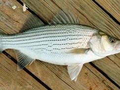 Ngon mà lạ miệng với những món đặc sản từ thịt cá vược