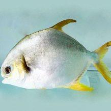 Cá Chim Vàng Anh
